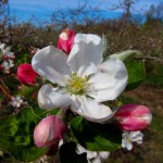 Apple blossom on Saturday, April 29