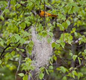 Female Baltimore oriole weaving a nest in paper birch tree