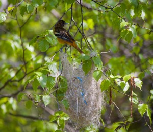 May 12, 2012. The nest had taken shape, and a couple strands from a blue plastic tarp had been added for extra durability.