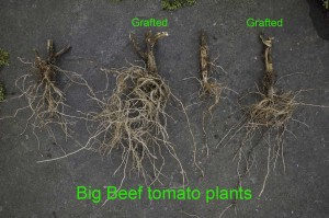 Roots of two grafted and two normal tomato plants.