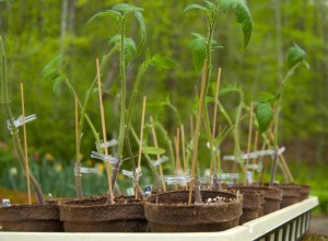 In spring 2012 I top grafted 20 tomato plants. All of them died.