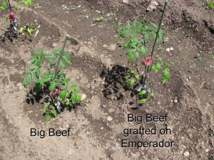 Side-by-side planting of normal and grafted tomato plants on June 1.