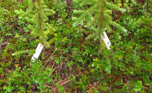 Two tagged white spruce seedlings in treeline  plot 1 at Monahan Flats. The low shrub cover is typical of spruce establishment microhabitat and includes alpine blueberry (Vaccinium uliginosum), shrub birch (Betula nana/glandulosa), and crowberry (Empetrum nigrum).
