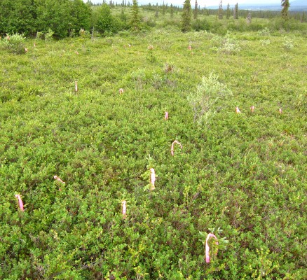 White spruce seedlings (here marked with pink flagging) are locally abundant at treeline and above treeline.  Plot MT1.