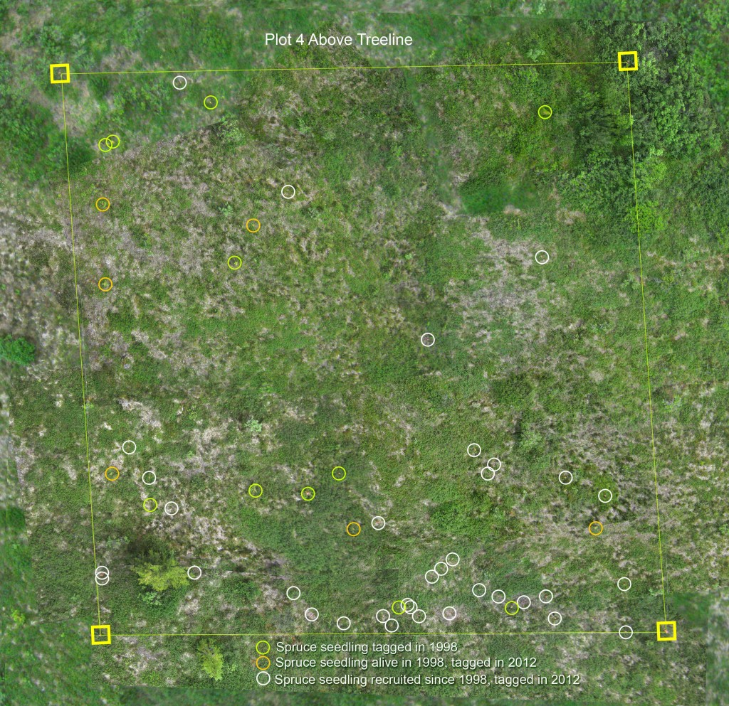 Kite aerial photo mosaic of plot 4 above treeline at Monahan Flats.  Locations of white spruce seedlings are marked.