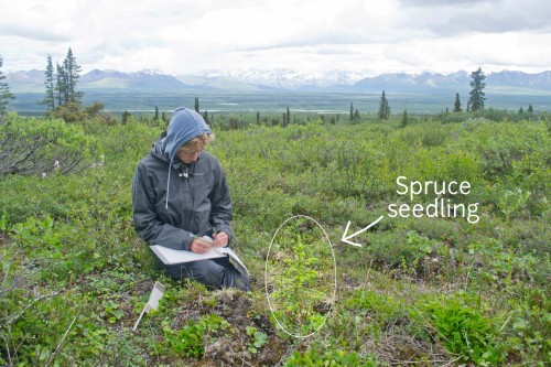 Collecting shrub height data at a spruce seedling in plot  MA4