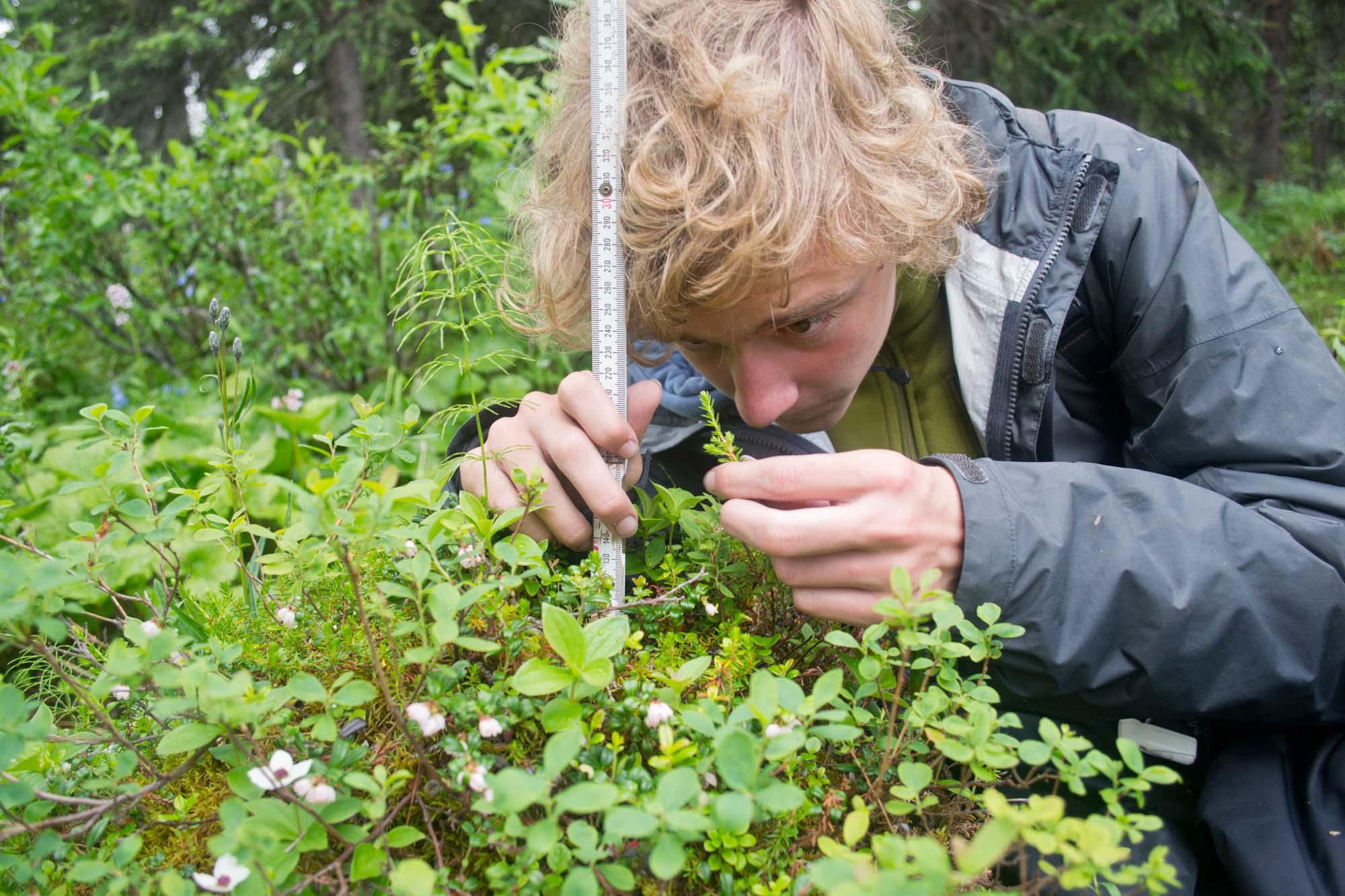 Collecting data in plot MT5. Plants in the foreground include  alpine blueberry (Vaccinium uliginosum) , lingonberry (Vaccinium vitis-ideae), bunchberry (Cornus canadensis),  and crowberry (Empetrum nigrum)