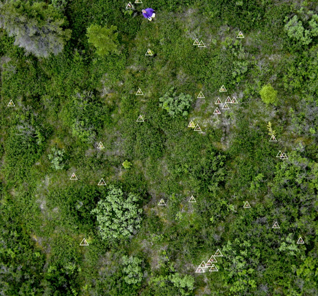 Kite aerial photo of plot 1 in the above treeline transect at the Monahan Flats study area. White spruce seedlings (white triangles) were marked with pink flagging before photography. Spruce seedlings are more abundant in areas of low stature woody plants (e.g., crowberry, lignonberry, cassiope) which appear grayish from above.